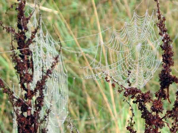 Cassiobury cobweb
